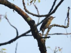 Brown-Capped Pygmy Woodpecker, Thattekad