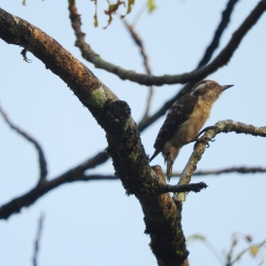 Brown-Capped Pygmy Woodpecker, Thattekad