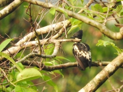 Heart-Spotted Woodpecker, Thattekad