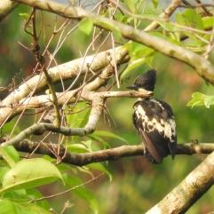 Heart-Spotted Woodpecker, Thattekad