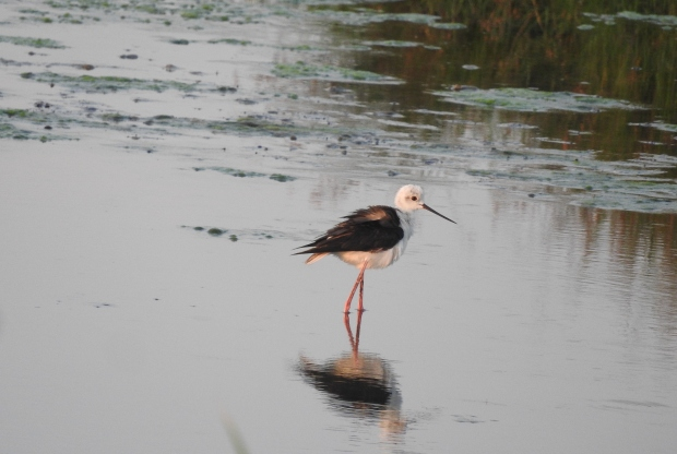 Black Winged Stilt, Pulicat
