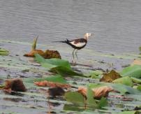 Pheasant-Tailed Jacana, Chennai