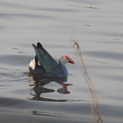 Grey-Headed Swamphen, Grey-Headed Swamphen, Pallikaranai