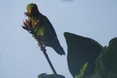 Vernal Hanging Parakeet