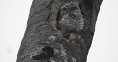 Spotted Owlet, Siruthavur