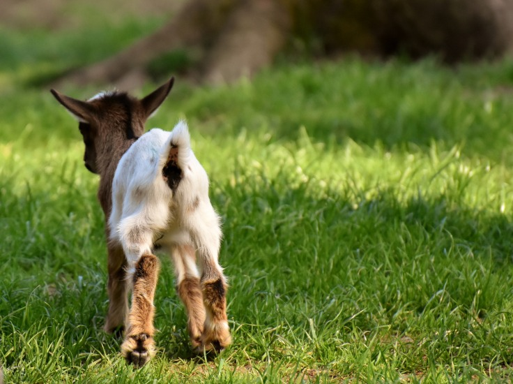 goat-3367612_1920