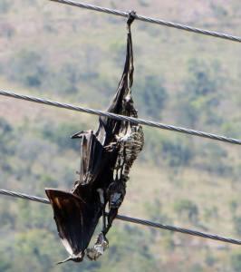 Fruit Bat, Kodaikanal