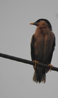 Black-Headed Starling, Chennai