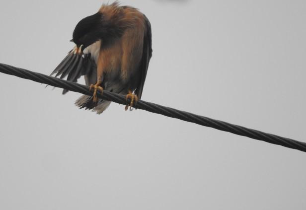 Black-Headed Starling, Chennai