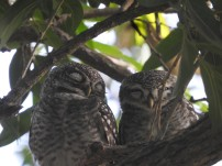 Spotted Owlets, Vedanthangal