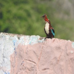 White-Throated Kingfisher, Padur