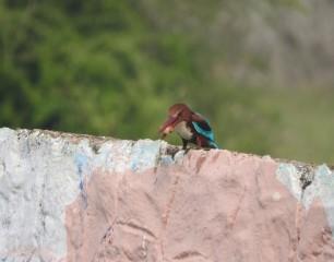 White-Throated Kingfisher, Padur