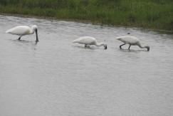 Spoonbills, Sholinganallur
