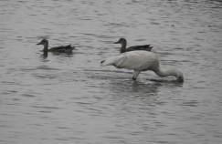 Spoonbills / Spot-Billed Ducks, Sholinganallur