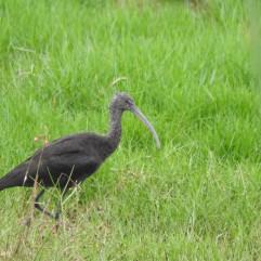 Glossy Ibis, Pallikarnaia