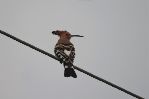 Common Hoopoe, Chennai