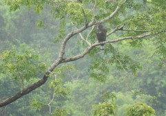 Crested Hawk Eagle, Anaimalai Hills