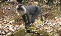 Lion-Tailed Macaque, Anaimalai Hills