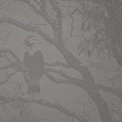 Great Indian Hornbill, Anaimalai Hills