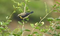 Purple Sunbird (eclipse plumage), Anaimalai Hills