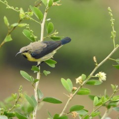 Purple Sunbird (eclipse plumage), Anaimalai Hills
