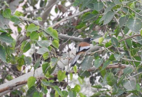 Rufous Treepie, Chennai