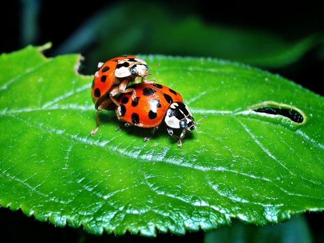 ladybugs-1271771_1920