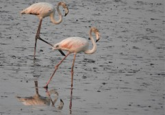 Greater Flamingo, Chennai