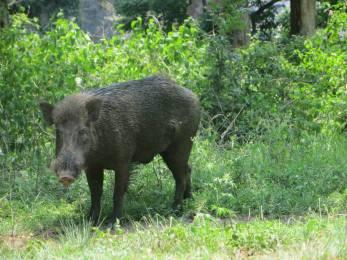 Wild Boar, Masinagudi