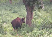 Indian Gaur, Mudumalai