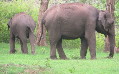 Indian Elephants, Masinagudi