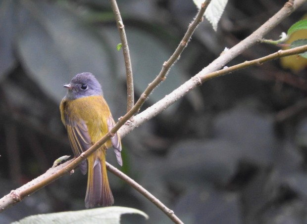Grey-Headed Canary Flycatcher, Vattakanal