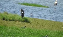 Purple Heron, Sholinganallur
