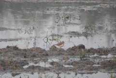 Golden Plover - Siruseri, Chennai