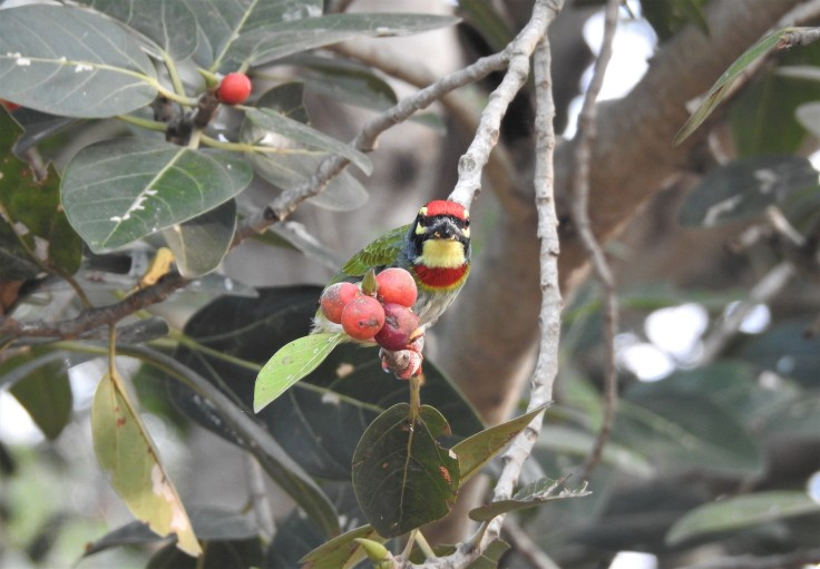 Coppersmith Barbets - Vedanthangal, Chennai