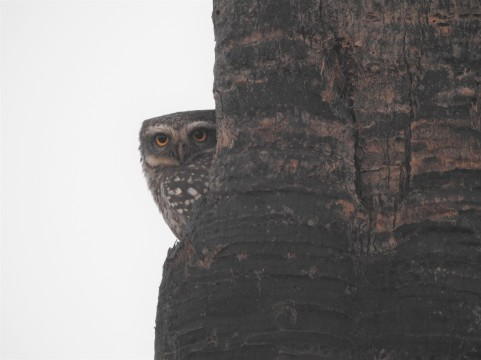 Spotted Owlet - Vedanthangal, Chennai