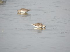 Common Sandpipers - Siruseri, Chennai