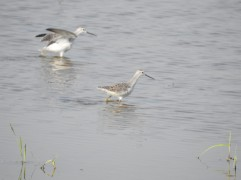 Common Greenshank - Siruseri, Chennai