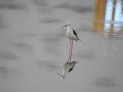 Black Winged Stilt - Siruseri, Chennai