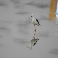 Black Winged Stilt - Siruseri, Chennai