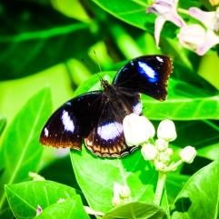 Great Eggfly, Chennai