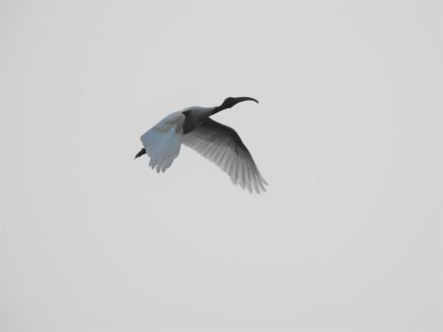 Black Headed Ibis - Vedanthangal Bird Sanctuary