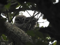 Spotted Owlets - Vedanthangal, Chennai