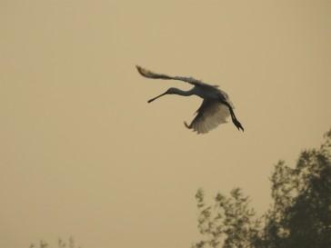Eurasian Spoonbill - Vedanthangal Bird Sanctuary