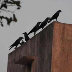 House Crow, Chennai