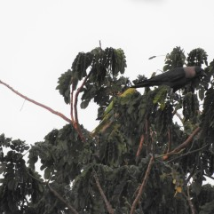 House Crow & Rose-Ringed Parakeet, Chennai