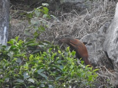 Stripe-Necked Mongoose, Western Ghats