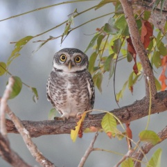 Spotted Owlet - Chennai