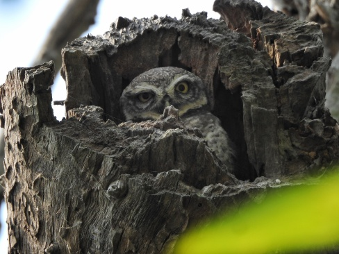Spotted Owlets - Chennai