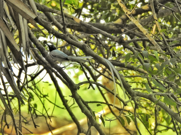 Indian Paradise Flycatcher